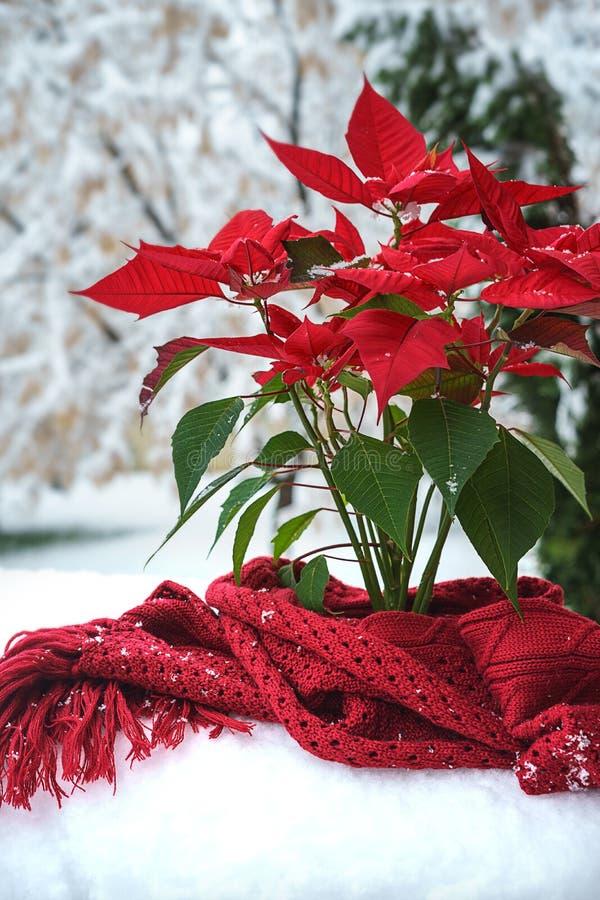 Pétalas vermelhas da poinsétia do Natal com scaft feito malha vermelho e flocos de neve de queda no fundo branco da neve na jarda fotos de stock