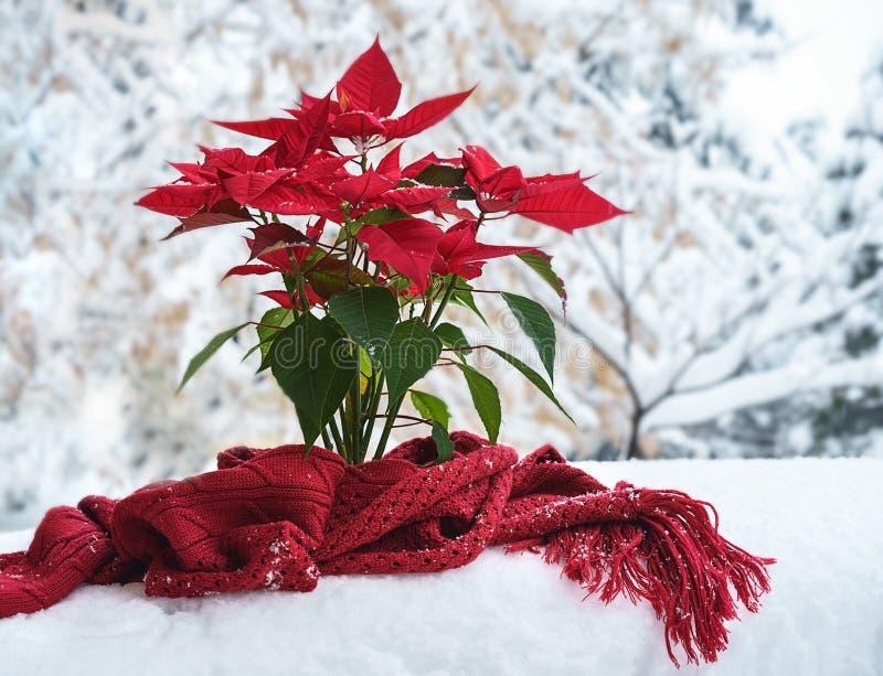 Pétalas vermelhas da poinsétia do Natal com scaft feito malha vermelho e flocos de neve de queda no fundo branco da neve na jarda fotografia de stock royalty free