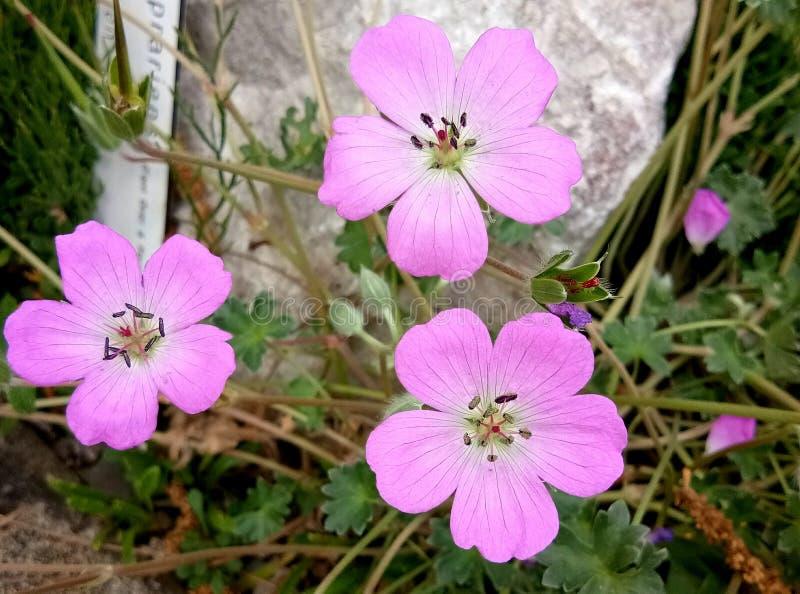 Pétale de fragilité de fleur de nature image libre de droits