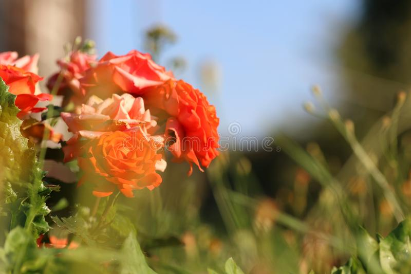 Pétale de liliac de fleur photographie stock