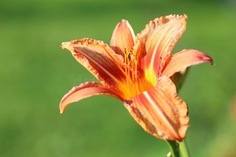 Pétale de liliac de fleur photos stock