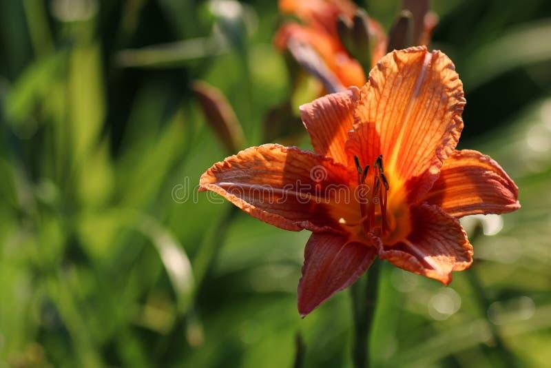 Pétale de liliac de fleur photos libres de droits