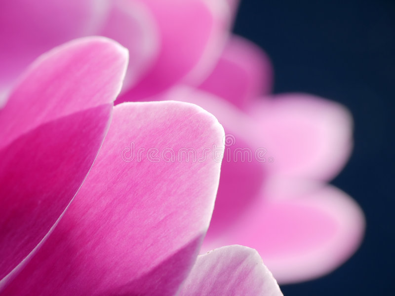 Pétales de fleur de Cyclamen photo libre de droits