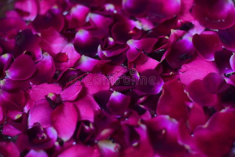 Pétales de fleur de Rose flottant en plan rapproché de l'eau photographie stock