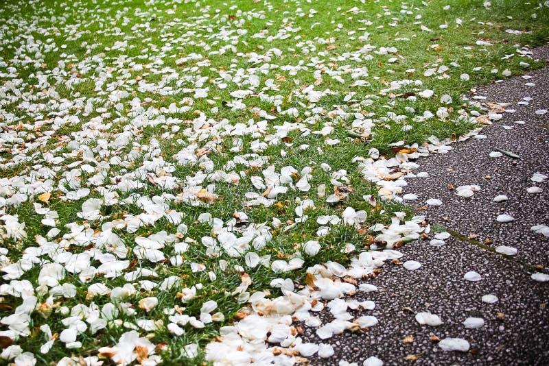 Pétales de fleur sur l'herbe verte photographie stock libre de droits