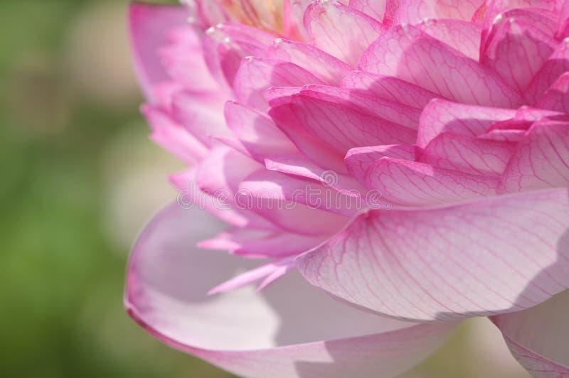 Pétales de Lotus image stock