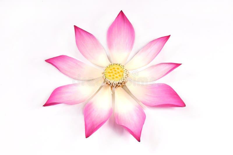 Pétales de lotus avec son bourgeon images stock
