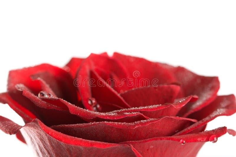 Pétales de Rose avec des baisses de l'eau photo stock