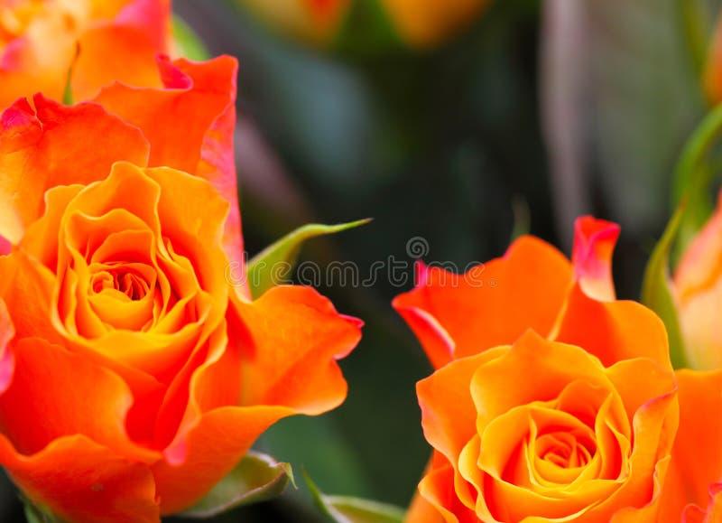 Pétales de rose, roses photos libres de droits