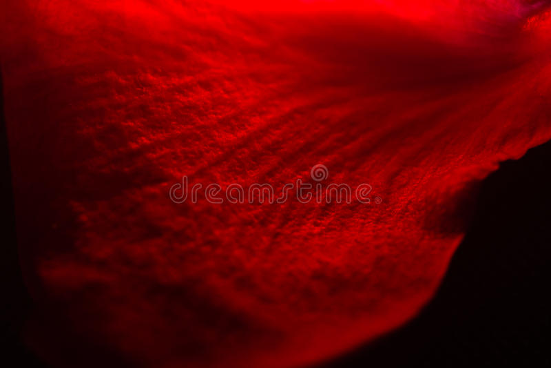 pétales de rose rouges qu'on peut répéter et flottants, studio photographié images stock