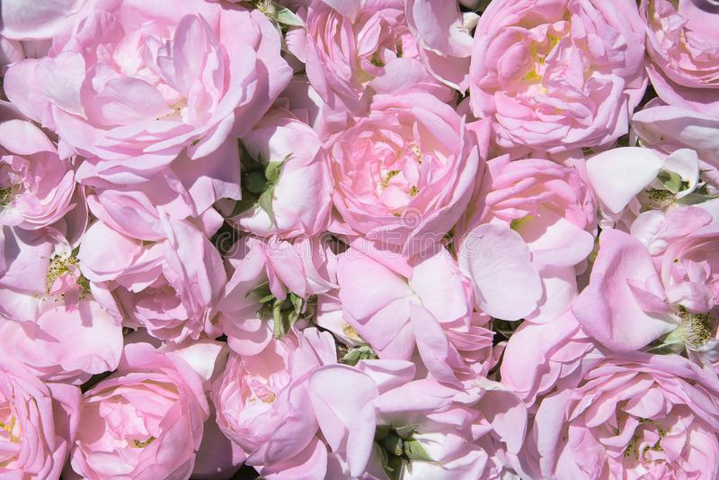 Pétales de rose de thé Culture industrielle de Rose contenant de l'huile images stock