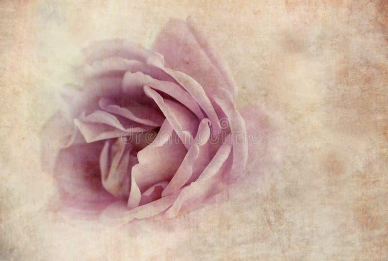 Pétales de rose violets photos stock