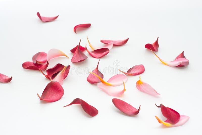 Pétales dispersés de fleur d'isolement sur le blanc image libre de droits