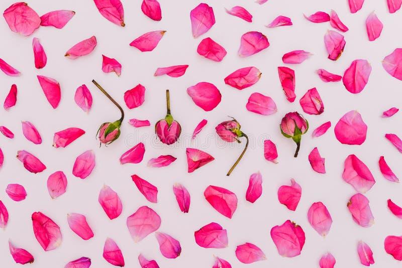 Pétales et bourgeons de petites roses sur un fond blanc Fond floral des roses roses Configuration plate, vue sup?rieure Texture d photo stock