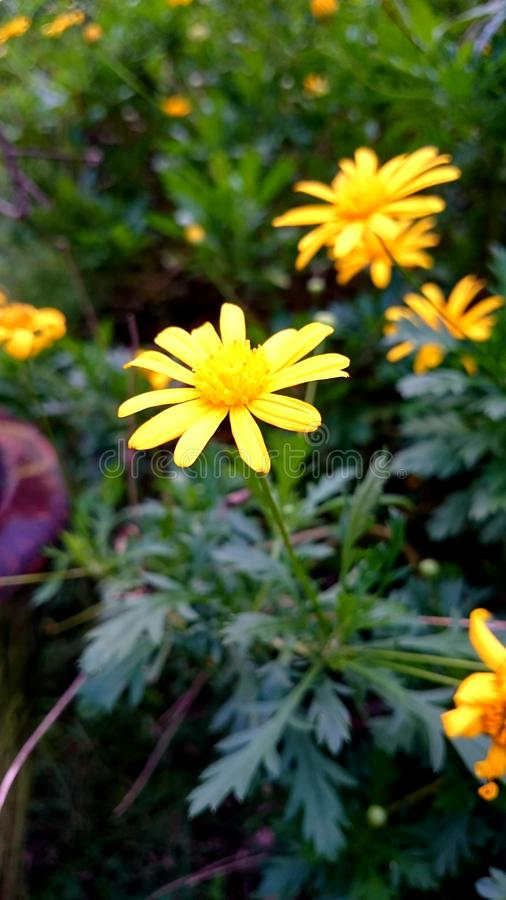 Pétales jaunes photos stock