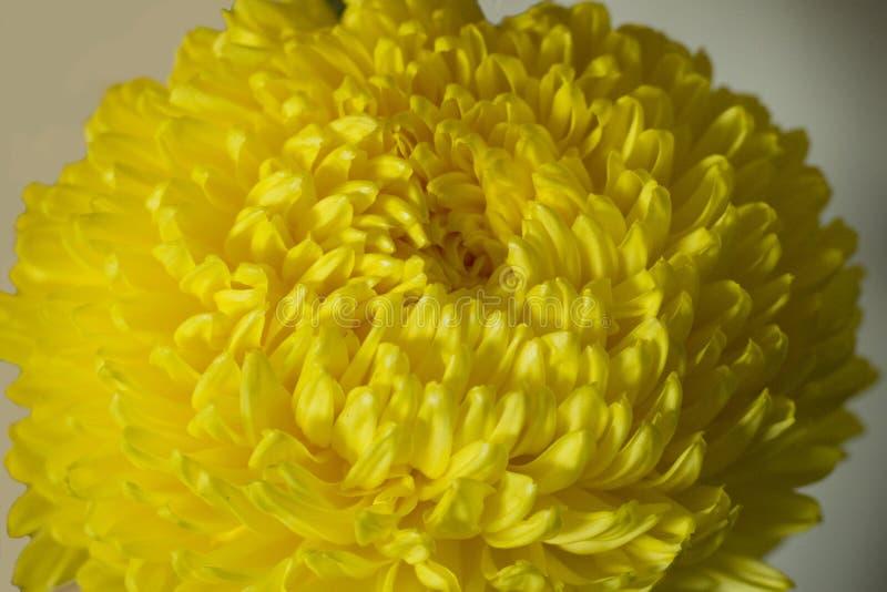 Pétales jaunes de fleur de chrysanthème photo libre de droits