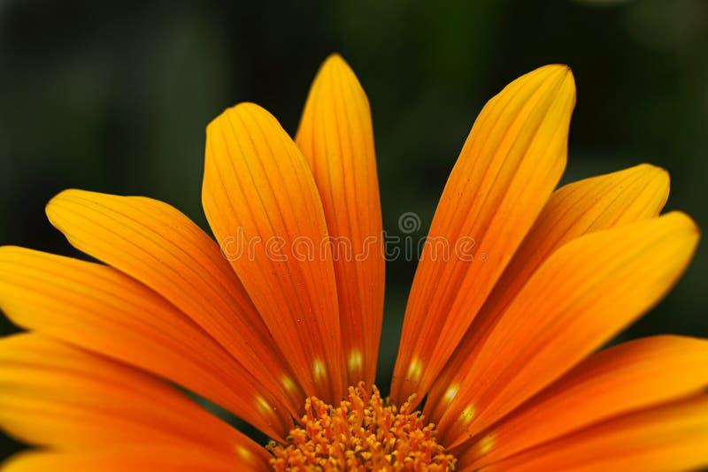 Pétales oranges de fleur photos stock