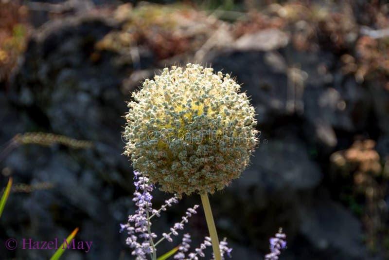 Pétales peu communs de fleur crème de couleur images stock