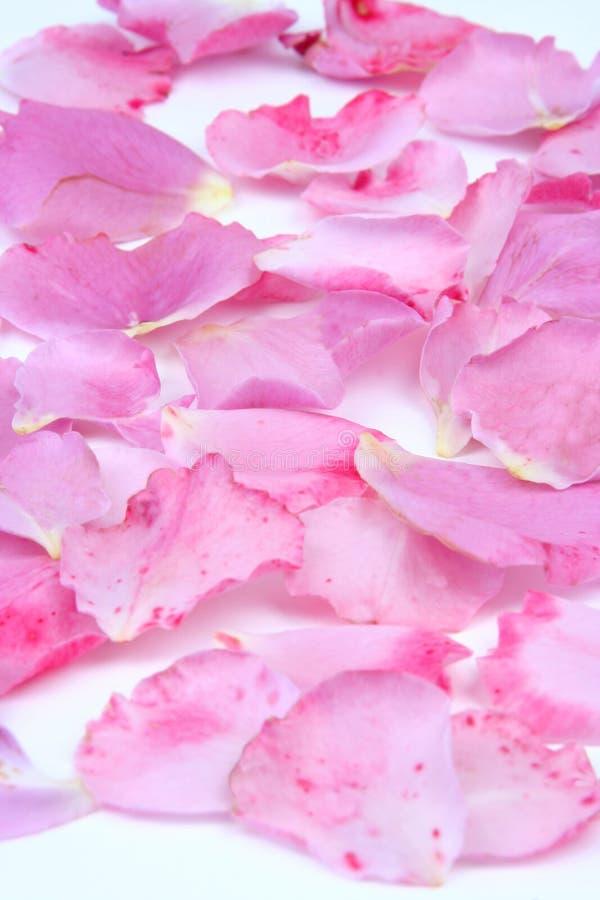 Pétales roses image libre de droits