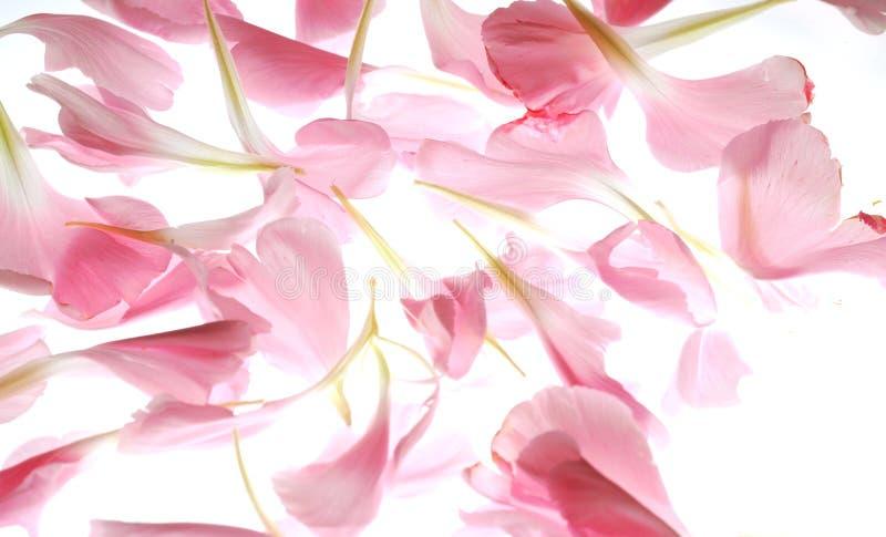 Pétales roses images libres de droits