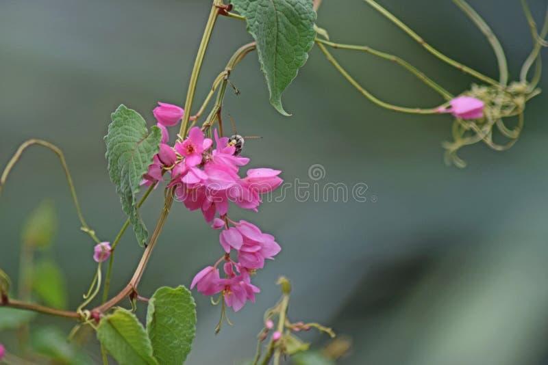 Pétales roses avec l'insecte photographie stock libre de droits