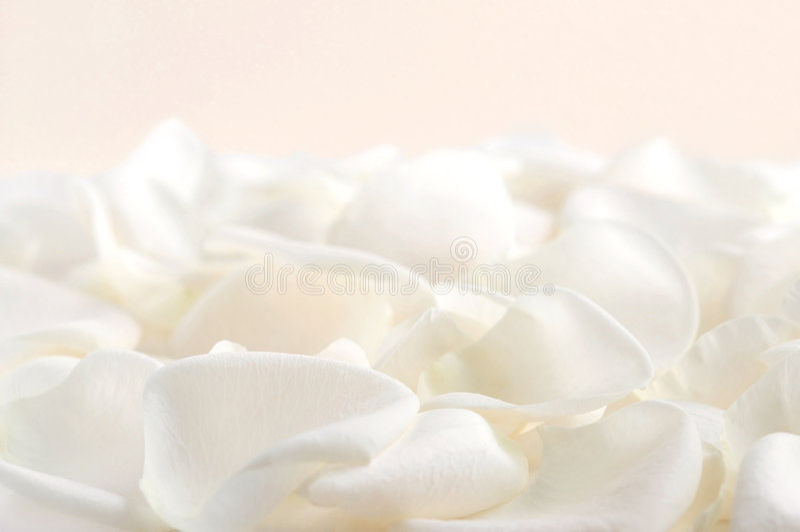 Pétales roses blancs photographie stock