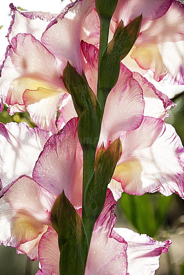 Pétales roses de Beautifil photographie stock libre de droits