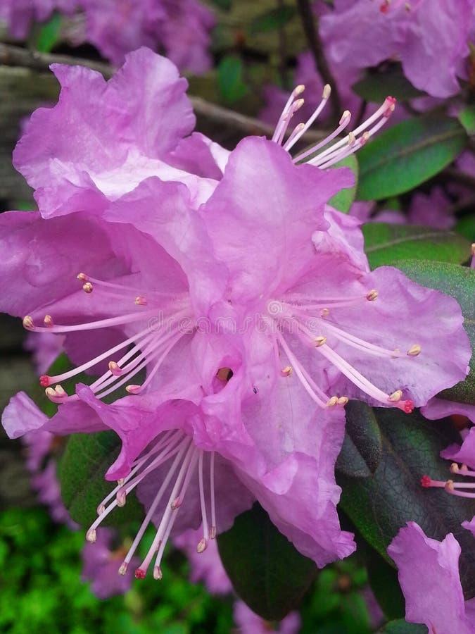 Pétales roses de fleur de rhododendron de PJM photos libres de droits