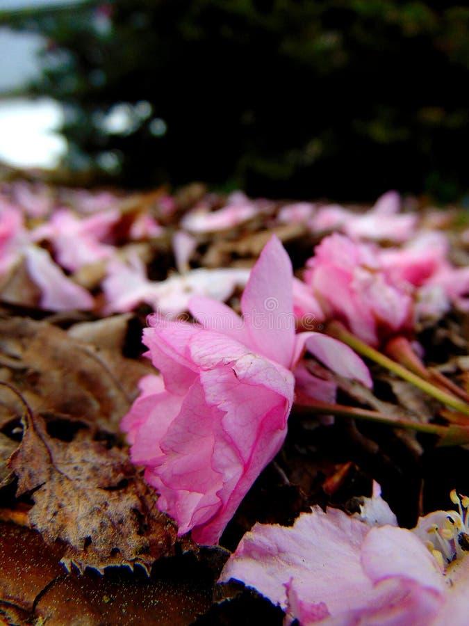 Pétales roses de fleurs de cerisier s'étendant sur une terre d'écorce photographie stock