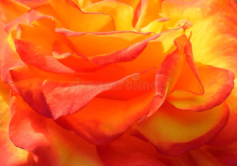 Pétales roses jaunes oranges d'usine de fleur de macro fleur de fond de papier peint photographie stock
