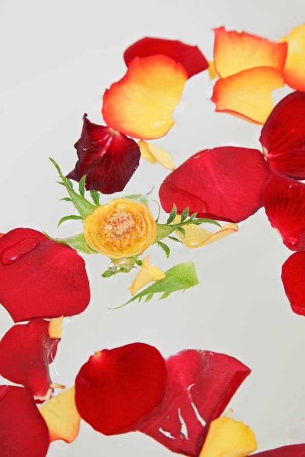 Pétales roses rouges et jaunes dans l'eau photos libres de droits