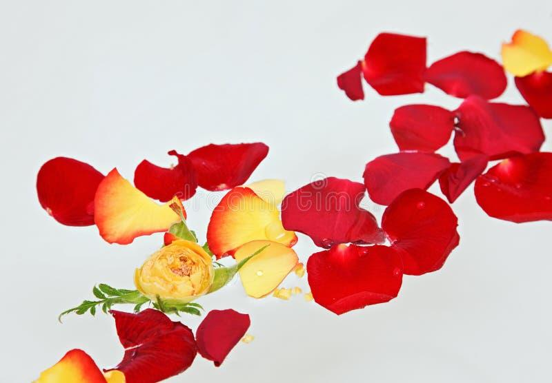 Pétales roses rouges et jaunes flottant dans l'eau photos libres de droits