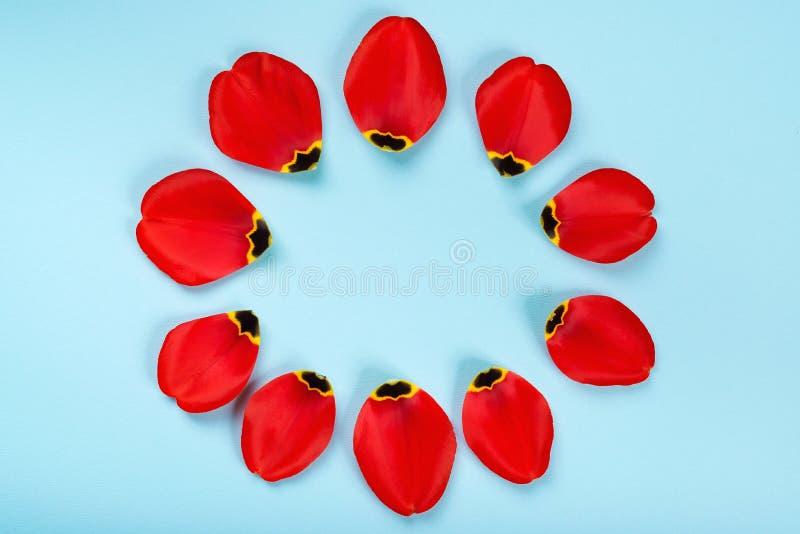 Pétales rouges de tulipes dans un cadre circulaire Composition florale sur fond bleu, couche plate avec espace de copie Décoratio photographie stock libre de droits