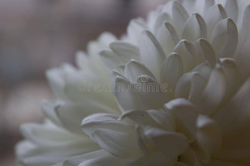 Pétales sensibles blancs d'un chrysanthème photo libre de droits