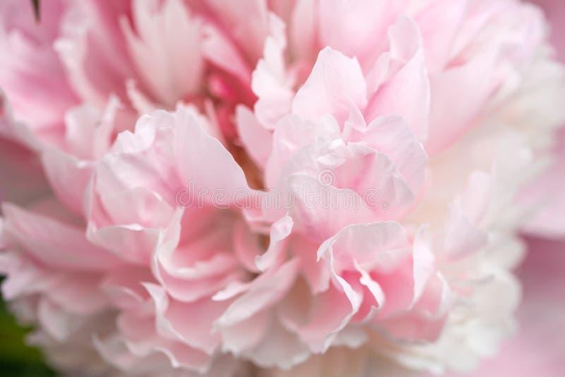Pétales Unfocused de pivoine de rose de tache floue, carte de fond, en pastel et molle romane abstraite de fleur images libres de droits