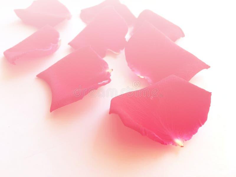 Pétalo color de rosa rojo con la gota de lluvia que baja del flor y asperjar aislado en el fondo blanco fotos de archivo libres de regalías