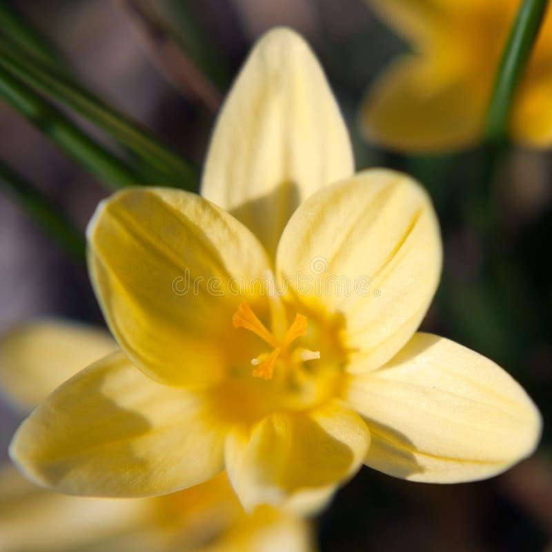 Pétalo de la flor del azafrán fotos de archivo libres de regalías