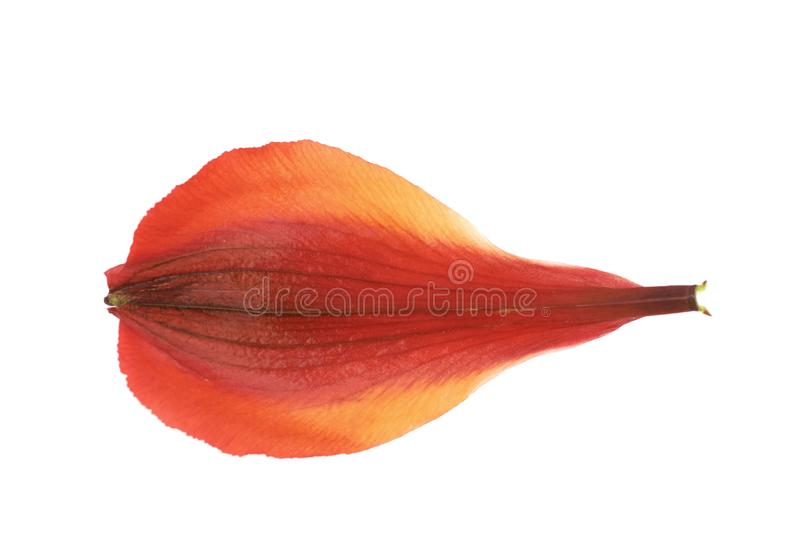 Pétalo del ` s de la flor del Alstroemeria aislado fotografía de archivo libre de regalías