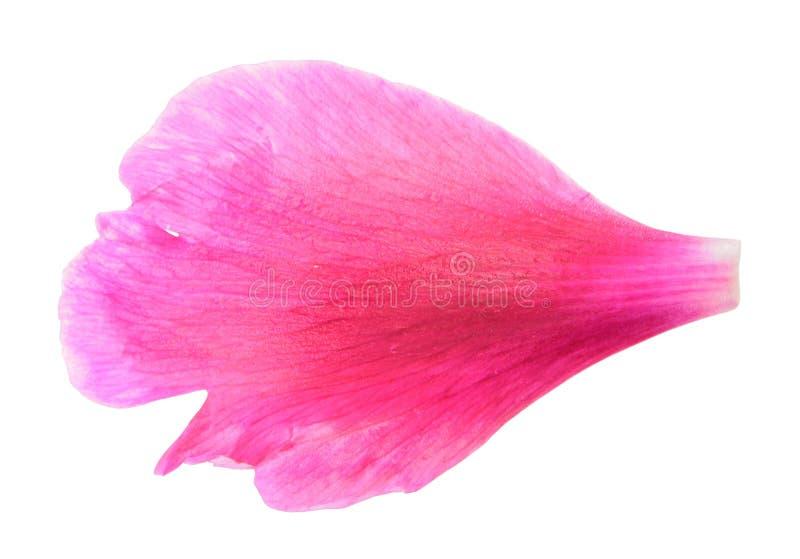 Pétalo rosado de la peonía aislado en el fondo blanco fotografía de archivo libre de regalías