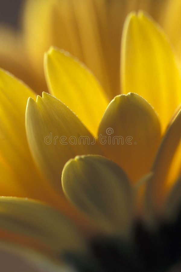 Pétalos amarillos fotografía de archivo