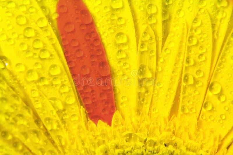 Pétalos amarillos abstractos y un rojo con las gotitas del cierre del agua para arriba imágenes de archivo libres de regalías