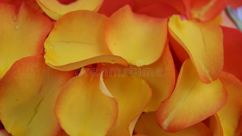 Pétalos amarillos y anaranjados del ` de las rosas imagenes de archivo