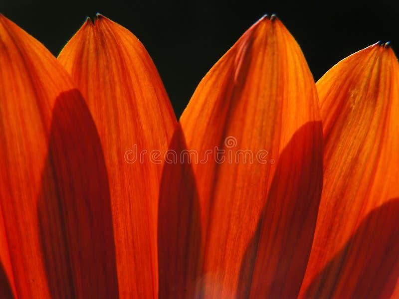 Download Pétalos anaranjados foto de archivo. Imagen de botánico - 186200