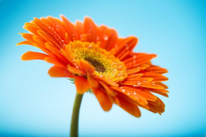 Pétalos anaranjados mojados de la flor de la margarita del gerbera imagenes de archivo