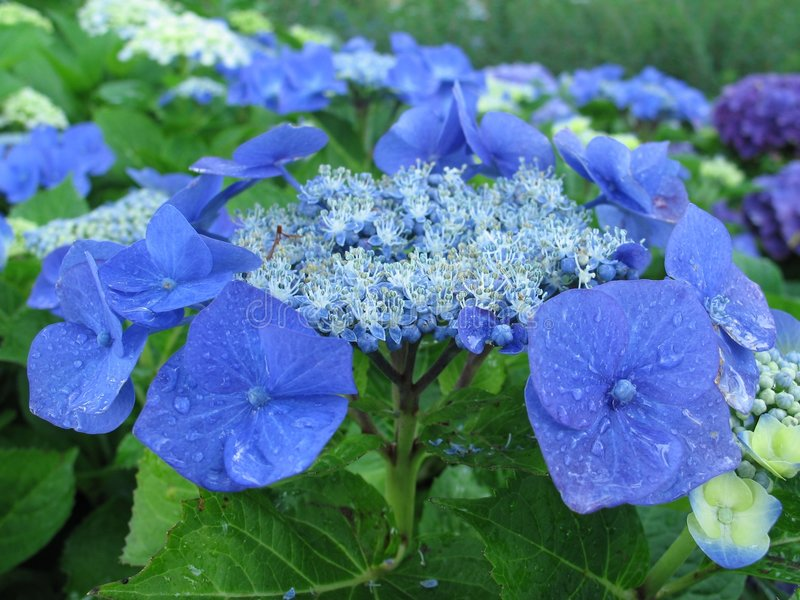 Pétalos azules 1 fotografía de archivo