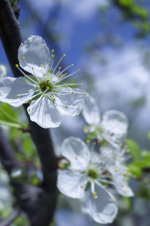 Pétalos blancos y estambres amarillos de flores de cerezo imagen de archivo libre de regalías