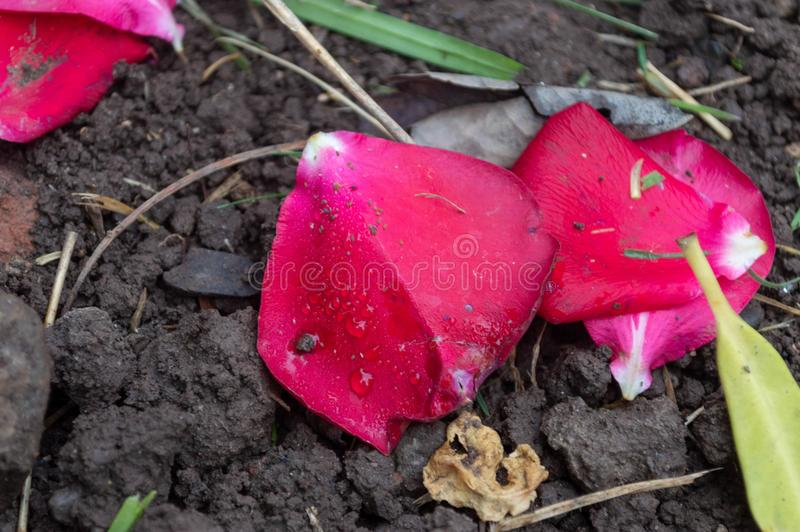 Pétalos caidos en la tierra debajo de sus plantas fotografía de archivo