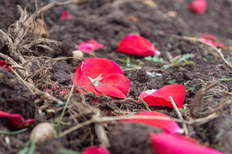 Pétalos caidos en la tierra debajo de sus plantas imagen de archivo libre de regalías