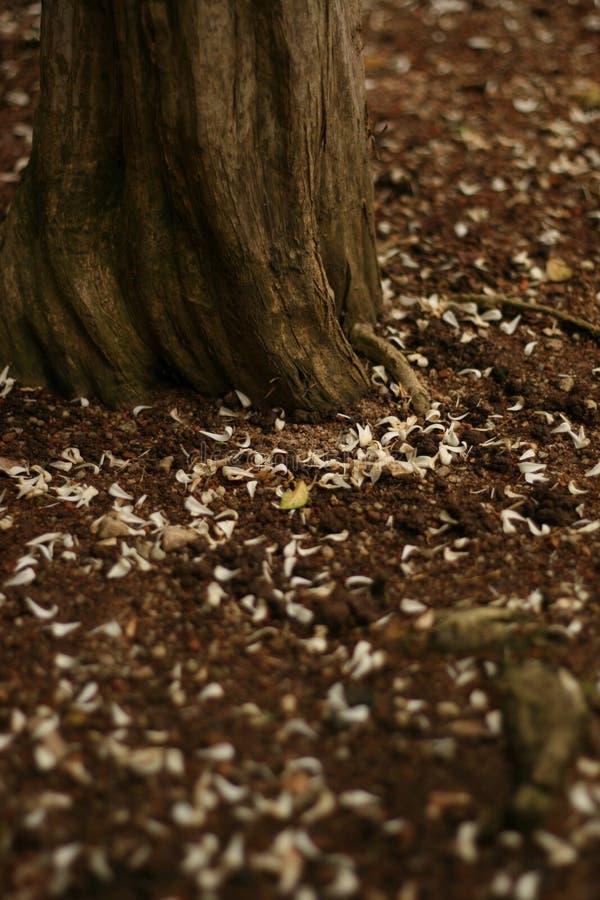 Pétalos caidos y tronco de árbol viejo foto de archivo libre de regalías