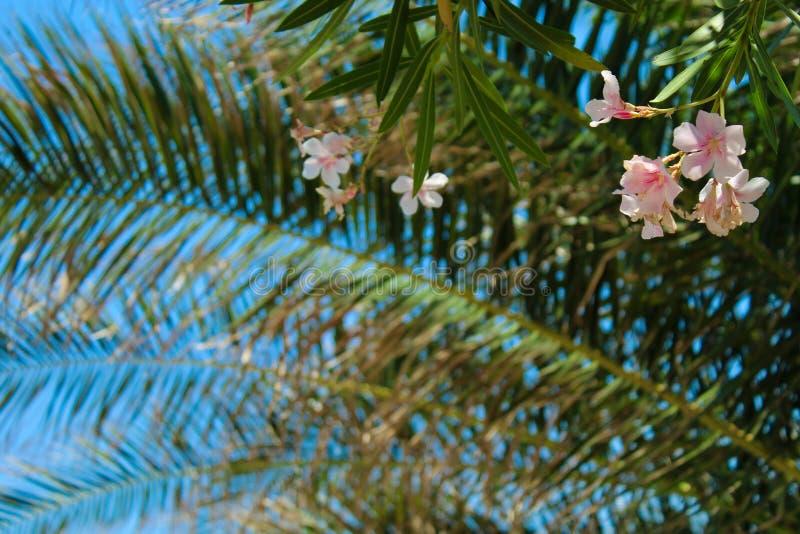 Pétalos color de rosa ligeros en cielo azul fotografía de archivo libre de regalías